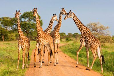 Auf einer Safari mit Afrikascout Giraffen ganz nah erleben