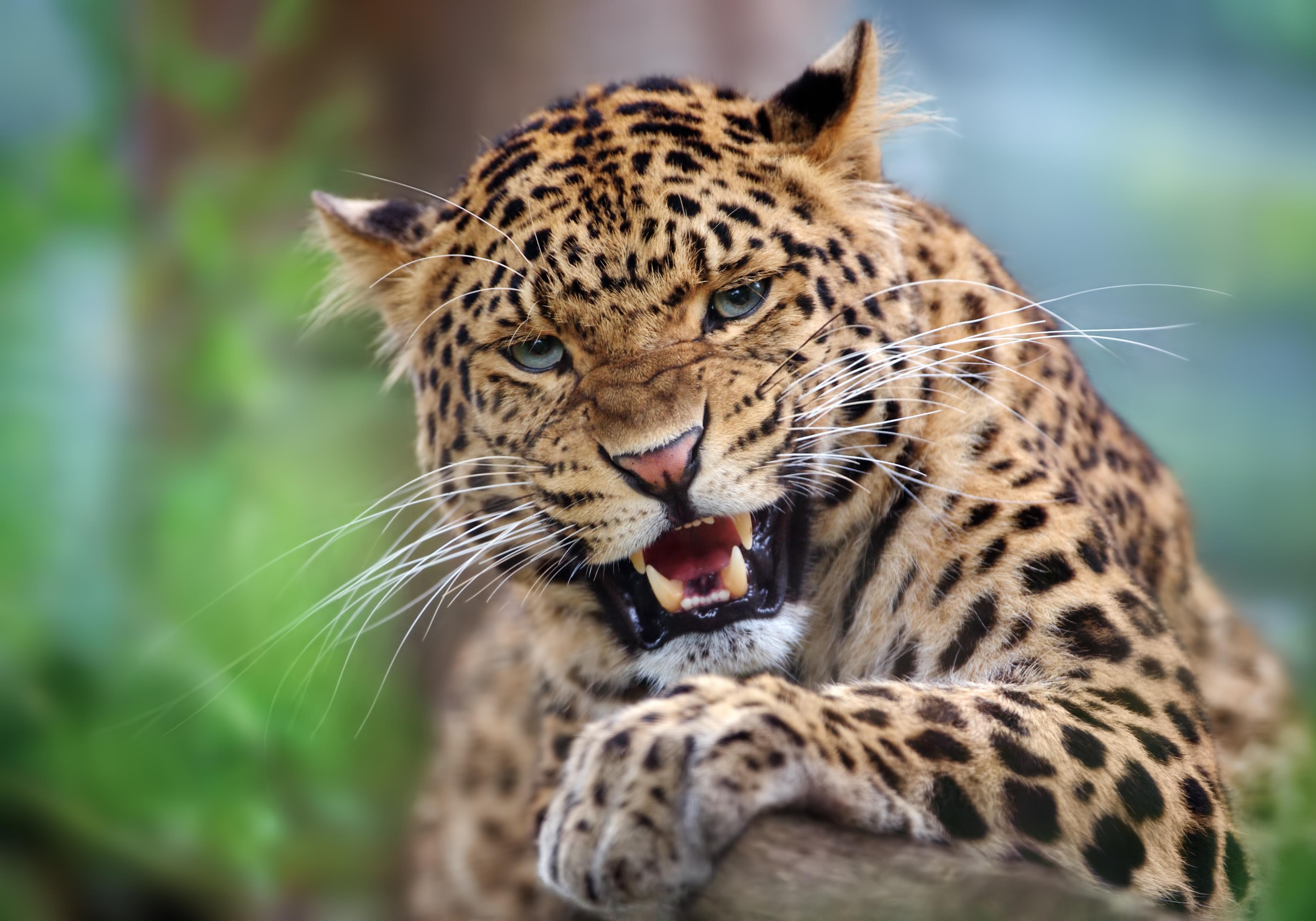 Mit Afrikascout Leoparden auf Safari erleben